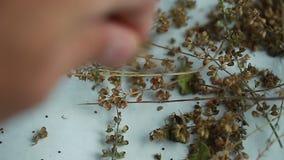 Video tulasi seeds holy basil aroma aurvedic product stock footage