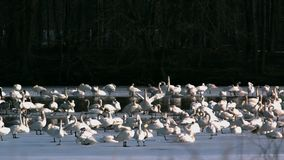 Tundra swans on lake slow motion. Video of tundra swans on lake slow motion stock video