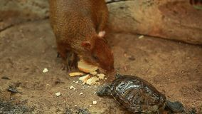 Video turtle takes food from the rodent tropic. Video turtle takes food from the rodent stock video footage
