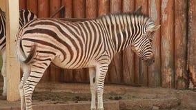 Video två sebror på zoo stock video