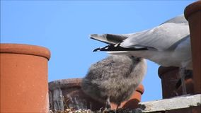 Baby babies bird birds seagulls seagull nesting nest roof rooftop chimneys family. Video of two baby bird seagulls nesting high above the rooftops growing up stock video