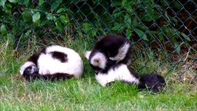 Two black and white ruffed lemurs in their zoo exhibit. Video of Two black and white ruffed lemurs in their zoo exhibit stock video