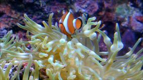 Two clownfishes swimming around in a Anemone. Video of Two clownfishes swimming around in a Anemone stock footage