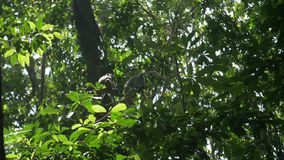Two macaques climbing amongst leafy green branches. Video of Two macaques climbing amongst leafy green branches stock video