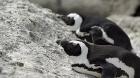 Two penguins laying sleepy on the rocks. Video of two penguins laying sleepy on the rocks stock footage