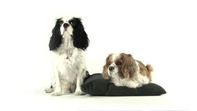 Two Sitting Dogs. Video of Two Sitting Dogs stock footage
