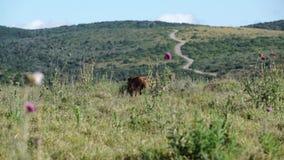 Two warthogs walking around. Video of two warthogs walking around stock footage