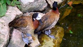 Two White-faced whistling ducks cleaning themselves on rocks. Video of Two White-faced whistling ducks cleaning themselves on rocks stock video