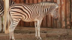 Video two Zebras at the zoo. African two Zebras at the zoo stock video footage