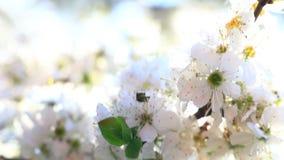 Video van een bloem van de pruimboom stock footage