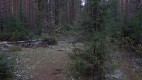 Video van sparren in het bos stock video