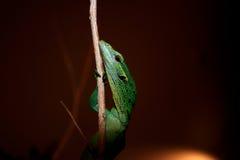 Video verde dell'albero del bambino - prasinus del Varanus Fotografia Stock