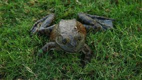 Bullfrog in Grass stock video footage
