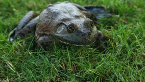Bullfrog in Grass stock footage