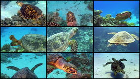 Video Wall Turtle Swimming over Coral Reef. 4K 9 screens static stock video footage