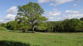 Walkers passing oak tree on Chorleywood Common stock video footage