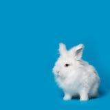 Video of white rabbit on blue screen Stock Photo