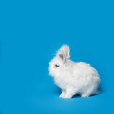 Video of white rabbit on blue screen Stock Images