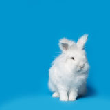 Video of white rabbit on blue screen Royalty Free Stock Photography