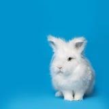 Video of white rabbit on blue screen Stock Photos