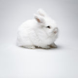 Video of white rabbit on blue screen Royalty Free Stock Photos