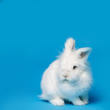 Video of white rabbit on blue screen Stock Image