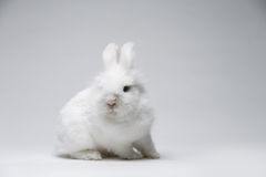 Video of white rabbit on blue screen Stock Photography
