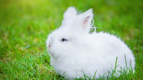 Video of white rabbit outdoors stock video