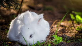 Video of white rabbit outdoors stock video footage