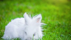 Video of white rabbit outdoors stock footage