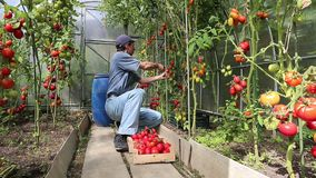 Video worker harvests of red tomatoes stock footage