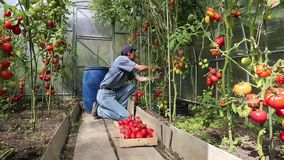 Video worker harvests of red tomatoes stock video footage
