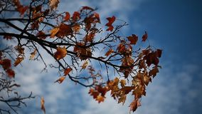 Video yellow maple leaves on a branch in autumn. Yellow maple leaves on a branch in autumn stock footage
