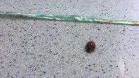 Ladybug stock video