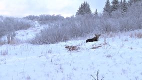 Zoom out on moose resting in the snow stock footage
