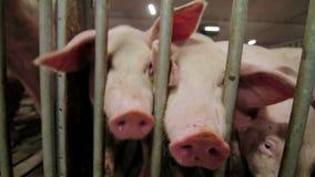 Videocámara y hocico tratados cerdos de la subida en la lente almacen de video