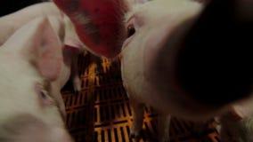 Videocámara y hocico tratados cerdos de la subida en la lente almacen de metraje de vídeo