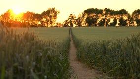 videoclip 4K do campo do trigo ou da cevada no por do sol ou no nascer do sol filme