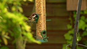 Videoclip 4K von den Haussperlingen, die Samen von einer Vogelzufuhr in einem britischen Garten während des Sommers essen stock video footage