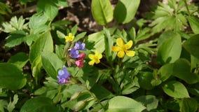 Videoclose-up van bloeiende gele anemoon in de lente in de boslengte statische camera stock videobeelden