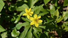 Videoclose-up van bloeiende gele anemoon in de lente in de boslengte statische camera stock video