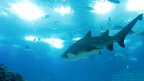 Videoen från undervattens- av hajar och stingrockor som simmar mot solen, strålar stock video