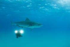 Videographer com tubarão de tigre Fotos de Stock