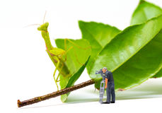 Videographer and green mantis. Videographer work in process. Exotic insect Mantis hunting tiny puppet. Little cameraman filming exotic animal. Dangerous stock image