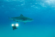 Videographer with Tiger Shark Stock Photos