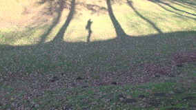Videographers shadow walking in autumn park. Videographers shadow walking in old autumn park stock video