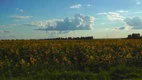 Videography of the blooming field of sunflowers from the window of a moving train or car. stock footage