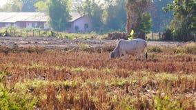Videokühe, die Gras im trockenen Reisfeld mit Los des Vogelfliegens weiden lassend stehen Szene in Südostasien, Thailand stock video