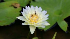 Videolengte van Bijen het bestuiven waterlily of lotusbloembloem stock video