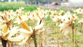 Videomaisfeld, Maiskolben verließ trocken für Vieh-Zufuhr stock footage